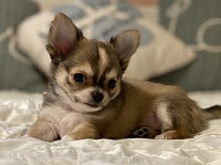 Precious Gems AKC Chihuahuas